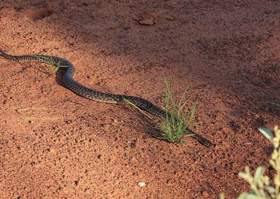 Snake identification - Non venomous stimson python.