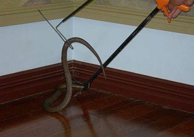 Venomous snake handling with Bob's Snake Handling Kit.